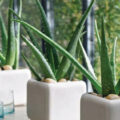 Aloe Vera: The Medicine Plant for the Kitchen